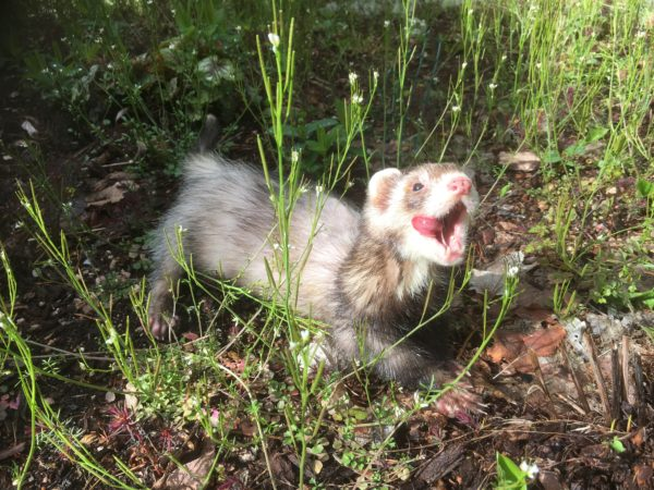 Image description: one of Jo's ferrets licking its lips while standing outside surrounded by plants. Source: Jo Lau.